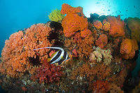 Bannerfish and Cup Corals