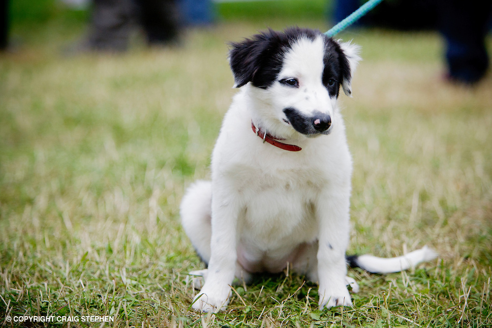 Young puppy collie dog - sheepdog