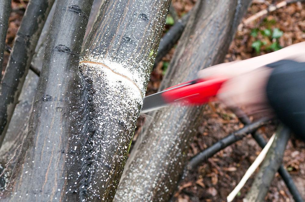 Ein Mann zersägt eine Ast eines Baumes mit einer Handsäge | a man cuts a branch of a tree with a hand saw