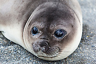 Close-up shot of Antarctic Fur Seal resting on beach at Gold Harbour, South Georgia - the one with soulful eyes!