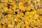 Carpet of autumn leaves in  the forest floor,Ruta de los Molinos, Banyeres de Mariola, Alicante province, Costa Blanca,Comunidad Valenciana, Spain