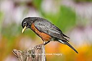 01382-05112 American Robin (Turdus migratorius) on fence post in flower garden, Marion Co., IL