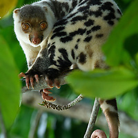 The Waigeo Spotted Cuscus (Spilocuscus papuensis) is endemic to a single island off the northwestern coast of West Papua. Closely related to possums, this is a pouched marsupial, spending its entire life in the trees where it feeds on leaves and occasional fruits.