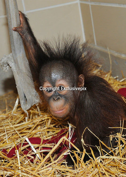 Brookfield Zoo Orangutan Serves as Surrogate for 6-month-old Orangutan<br /> <br /> Brookfield, Ill.&mdash; A 6-month-old male orangutan is doing well in large part due to the dedicated animal care staff at Toledo Zoo, Milwaukee County Zoo, and Brookfield Zoo.<br /> <br /> Kecil (pronounced Ka-cheel, which is Indonesian for little) arrived at Brookfield Zoo on June 20 to be introduced to a surrogate mom, Maggie, the zoo&rsquo;s 53-year-old Bornean orangutan. Discussions among orangutan care experts from the AZA&rsquo;s Orangutan Species Survival Plan (SSP) and Hand Rearing/Surrogacy Advisory Group as well as the three institutions resulted in the determination that Maggie could be a good surrogate mother because of her calm demeanor and her previous success in this role. <br /> <br /> Upon his arrival at Brookfield Zoo, Kecil was given a brief physical examination and then taken to an off-exhibit area at the zoo&rsquo;s Tropic World exhibit to be introduced to Maggie. Since the two have been together, animal care staff have seen very positive interactions. The two engage each other in play, and the young orangutan often sleeps in the crook of Maggie&rsquo;s arm. He has shown interest in Maggie&rsquo;s food, but for now he has been sampling softer foods like bananas, and baby cereal has become a staple. In addition, Kecil comes to the front of their enclosure on his own or with Maggie&rsquo;s assistance to be bottle-fed, which will continue at least until he is a year old.<br /> <br /> &ldquo;Although it has been only a short time and we have a long road ahead of us, we are extremely optimistic due to Kecil and Maggie&rsquo;s progress so far. Maggie is an easygoing and gentle orangutan. The two have been together since Kecil&rsquo;s arrival, and Maggie has provided care and attention that he needs to receive from an orangutan.&rdquo; said Jay Petersen, curator of primates and carnivores for the Chicago Zoological Society, which manages Brookfield Zoo.<br /> <br /> Kecil was born on January 11, 2014, at Ohio&rsquo;s Toledo Zoo. His mother, Yasmin, who has raised her own off