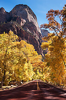 Autumn canyon road with dramatic canopy of yellow in Zion National Park, Utah.