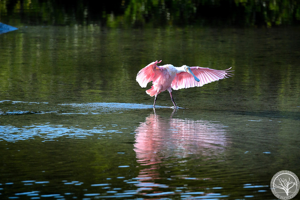 A roseate spoonbill dries his wings after a bath, in the soft light of the setting sun. J.N. Ding Darling National Wildlife Refuge, Sanibel Island, FL.