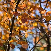 Serviceberry (Amelanchier): Autumn: Fall colours