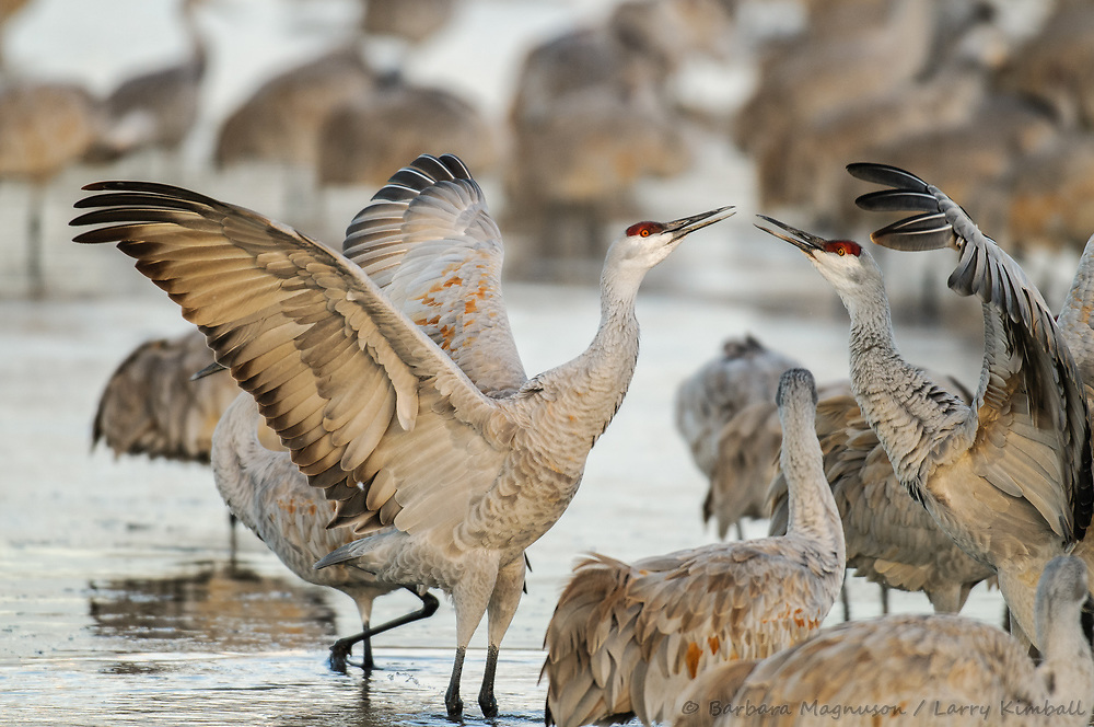 Sandhill Crane {Grus canadensis}; dominance display morning on the Bosque, Bosque del Apache National Wildlife Refuge, New Mexico