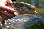 Wilderness TV Pro Guide, Lewis Hendrie, with a beautiful wild brown trout, caught during filming on the River Usk.