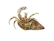 South-clawed Hermit Crab - Diogenes pugilator