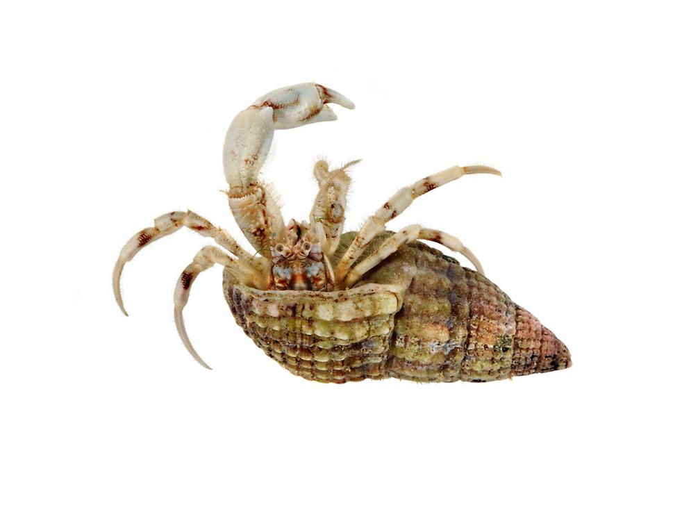 South-clawed Hermit Crab - Diogenes pugilator