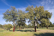 Cork oak, Monfrague, Caceres, Extremadura, Spain