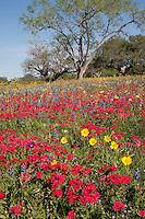 Drummond Phlox (Phlox drummondii), Gonzales County, Texas