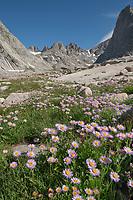 Field of purple Asters growing in Upper Titcomb Basin, Bridger Wilderness, Wind River Range Wyoming