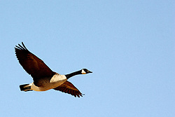 14 March 2008: Canadian geese fly past against a bright blue sky