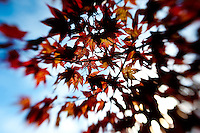 Japanese maple leaves change their hue as autumn arrives.