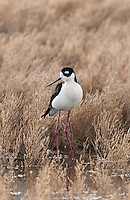 Northern Utah wetlands in April bring a multitude of shore birds and one of them is the Black Necked Stilt.