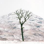 Scots pine under Sron Gharbh, Glen Falloch