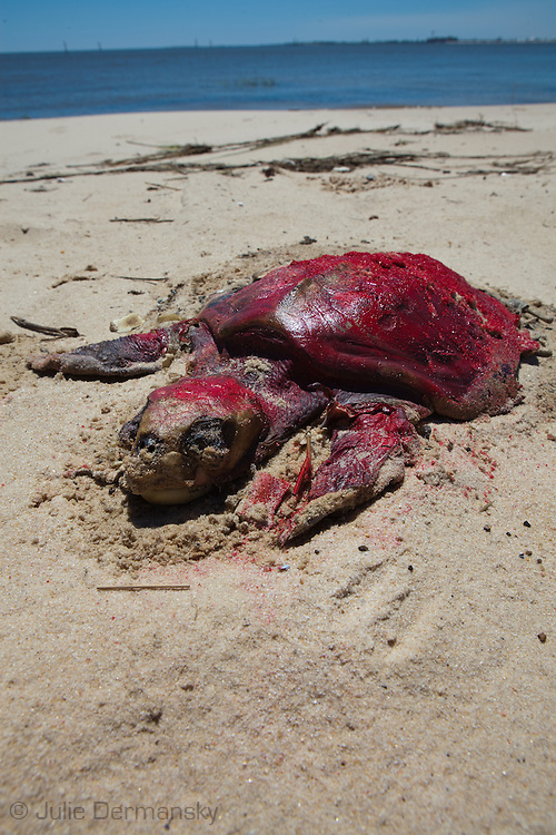 Dead sea turtle on the beach in Waveland Mississippi,  painted red by the Institute for the Marine Mammal Studies so it wont be counted a second time, left on the beach until a crew comes to remove it. <br /> An unprecedented number of dead young  Kemp's Ridley and Loggerhead  sea turtles have washed up on the shores of Mississippi along the Gulf of Mexico starting almost a year after the BP oil spill. <br /> Test are being done on the high number of turtle and dolphin corpses found on the beaches but results have not been released.