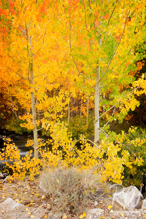 Fall Color Along Middle Fork of Bishop Creek, Inyo National Forest, California