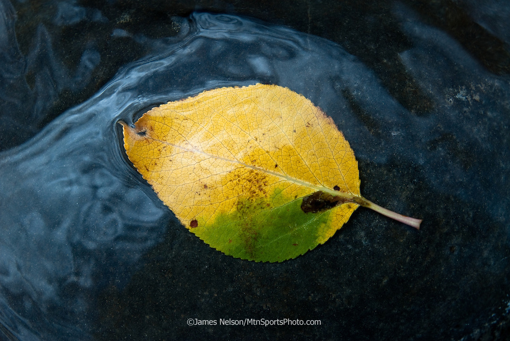 Water flows over a cottonwood leaf during an autumn day along the South Fork of the Snake River, Idaho.
