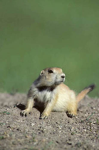 Prairie Dog, (Cynomys ludovicians) Young pup.