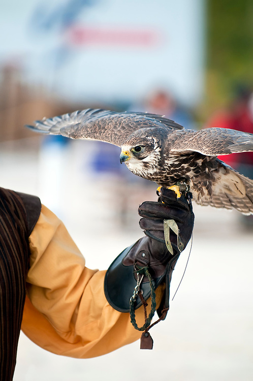 Falcon perched on handlers glove ready to fly. Copyspace.