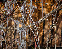Icicles on the vines. Late winter backyard nature in New Jersey. Image taken with a Nikon D2xs camera and 80-400 mm VR lens (ISO 400, 400 mm, f/9.5, 1/500 sec).