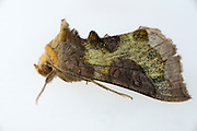 The Burnished Brass (Diachrysia chrysitis) is a moth. GEO day of biodiversity at Hohe Tauern National Park, Austria. | Die Messingeule (Diachrysia chrysitis) ist ein Schmetterling (Nachtfalter). GEO-Tag der Artenvielfalt im Nationalpark Hohe Tauern 2013, Österreich.