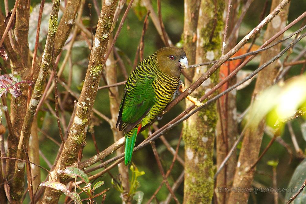 Brehm's Tiger Parrot, Psittacella brehmii, Papua New Guinea, by Adam Riley