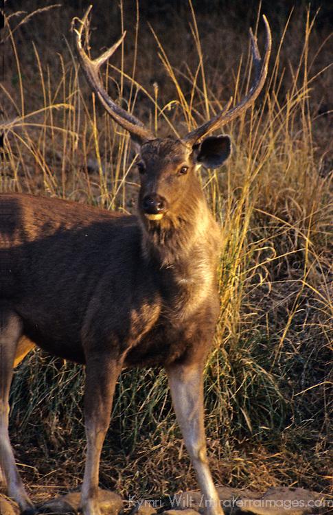 Asia, India, Ranthambore. Sambar Deer.