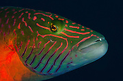 Linedcheeked Wrasse (Oxycheilinus digrammus)<br />