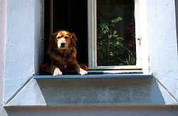 CZECH REPUBLIC PRAGUE JUL00 - A dog looks out of a window in Prague's Vrsovice district.. . jre/Photo by Jiri Rezac.  . © Jiri Rezac 2000. . Tel:   +44 (0) 7050 110 417. Email: info@jirirezac.com. Web:   www.jirirezac.com