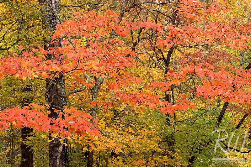 Beech Maple Trees and Dogwood in Fall at the Bernheim Forest, Clermont, Kentucky