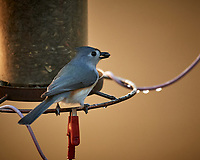Tufted Titmouse. Image taken with a Nikon D5 camera and 600 mm f/4 lens (ISO 1600, 600 mm, f/4, 1/320 sec)
