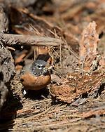 Robin on floor of ponderosa pine forest with long-horned beetle larvae (ponderosa pine bark borer) picked from under the bark, © 2014 David A. Ponton