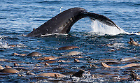 A humpback whale (Megaptera novaeangliae) dives for anchovies near a group of California sea lions (Zalophus californianus). Monterey Bay, California.