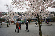 Hannover Messe 2005, the biggest annual industrial fair in the World..Cherry trees in full bloom.