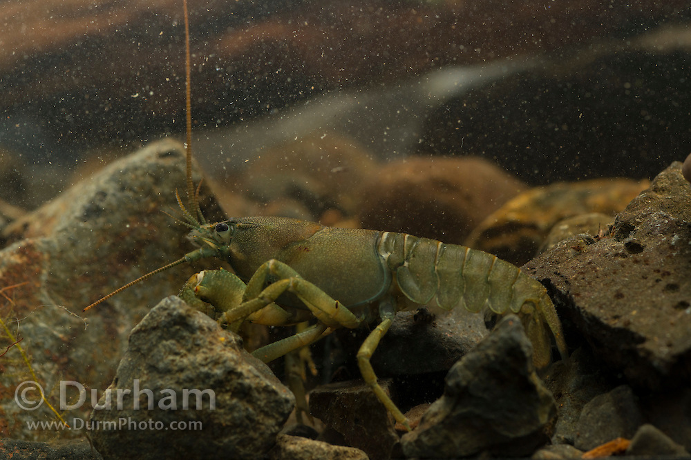 A signal crayfish (Pacifastacus leniusculus) photographed underwater in the Columbia River Gorge, Oregon.
