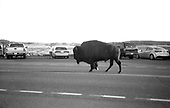 Yellowstone 100 years