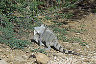 A large male green iguana, Iguana iguana, showing the pronounced dewlap that develops in adult males, and dorsal spines.  Green iguanas are also known as common iguanas. Bonaire, formerly part of Netherlands Antilles.