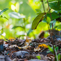 A pair of Ashy Tailorbirds, Orthotomus ruficeps, Tanjong Jara Resort, Terengganu, Malaysia.
