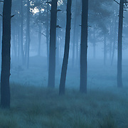 Morning mist in a pine forest at the Neovolcanic Axis.Las Palomas. Morelos State. MEXICO