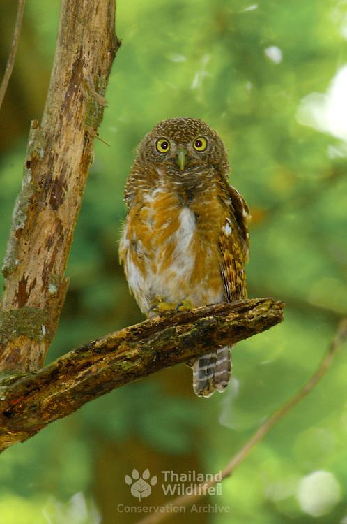 Asian Barred Owl, Glaucidium cuculoides sitting on tree stump at Bang Phra, Chonburi.