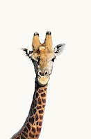 Portrait of giraffe over white background