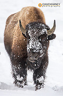Bison bull with snowy face in Yellowstone National Park, Wyoming, USA