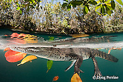 Morelet's crocodile, Central American crocodile, or Belize crocodile, Crocodylus moreletii,  floats resting among leaves and their reflections in a cenote, or freshwater spring, near Tulum, Yucatan Peninsula, Mexico