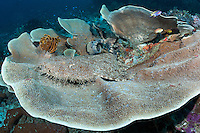 A Tassled Wobbegong perches on a large Scroll Coral<br /> <br /> Shot in Indonesia