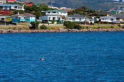 NEW ZEALAND SOUTHLAND BLUFF 22DEC07 - Dolphins breach for air outside Bluff, New Zealand's most southerly town. Bluff is the oldest European town in New Zealand, being permanently settled since 1824...jre/Photo by Jiri Rezac..© Jiri Rezac 2007..Contact: +44 (0) 7050 110 417.Mobile:  +44 (0) 7801 337 683.Office:  +44 (0) 20 8968 9635..Email:   jiri@jirirezac.com.Web:    www.jirirezac.com..© All images Jiri Rezac 2007 - All rights reserved.