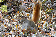 This little red squirrel was busy moving pilfered seeds from a community bird feeder to a stockpile he was building just across the trail, only 25 feet away.<br /> <br /> On each trip, he would stop on the forest trail and stare me down from only a yardstick's distance, apparently to make me understand just exactly who was in charge.<br /> <br /> In this photo, he has completed the construction of his latest stash, and is busy smoothing out the leaves.
